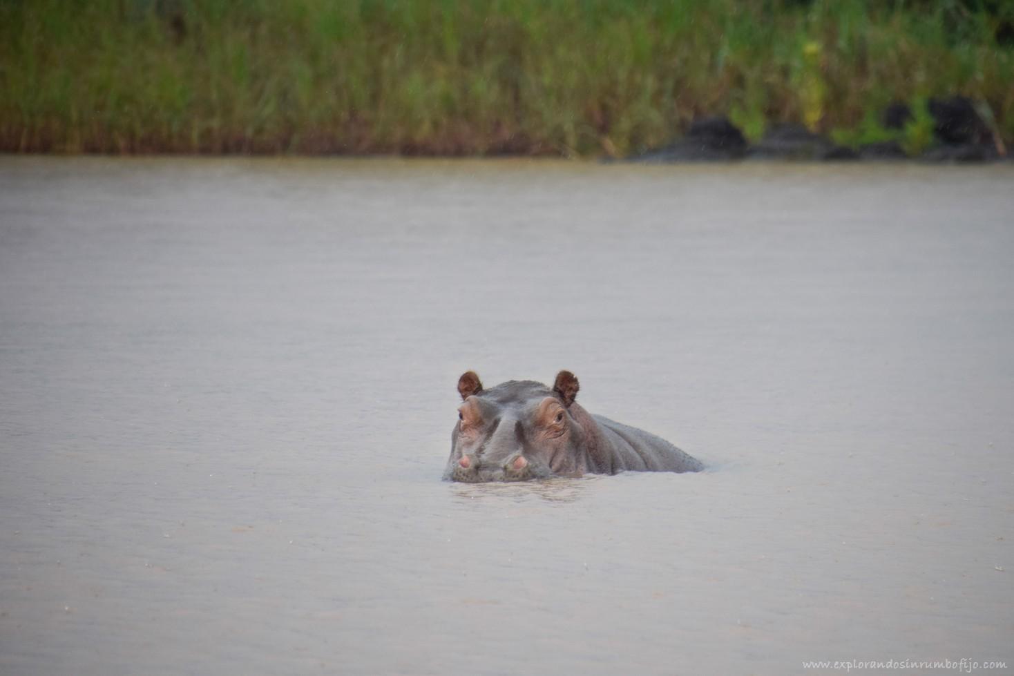 hipopótamo lago tana