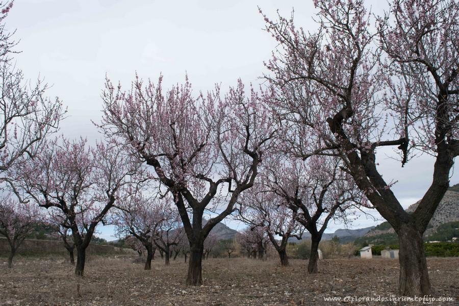 campos almendros Alcalali