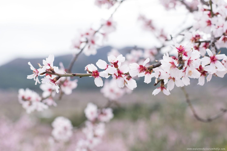 ruta almendros en flor alcalali