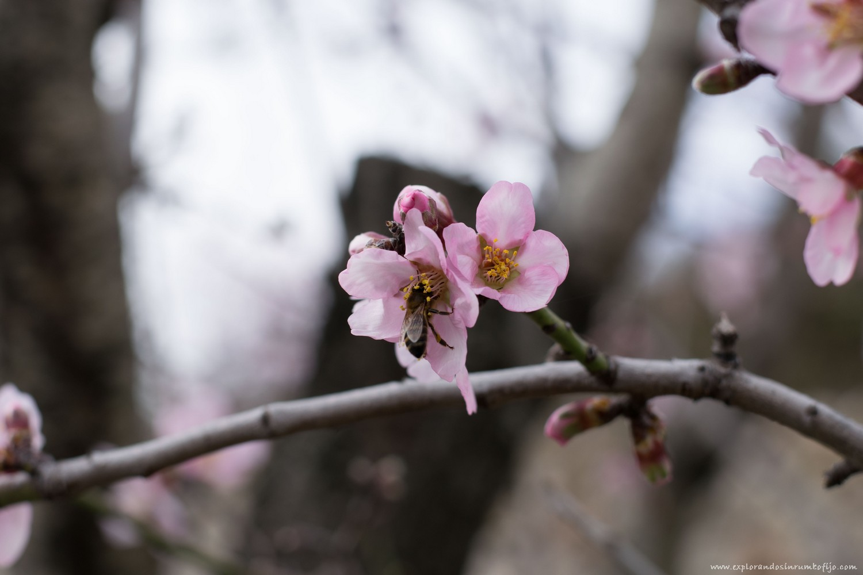 flor almendro alcalali