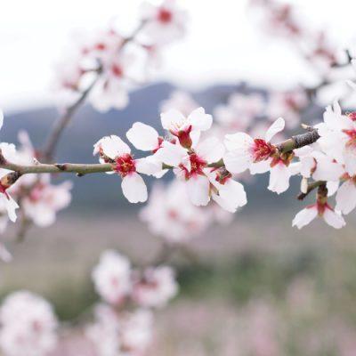 Alcalalí y su ruta de los almendros en flor