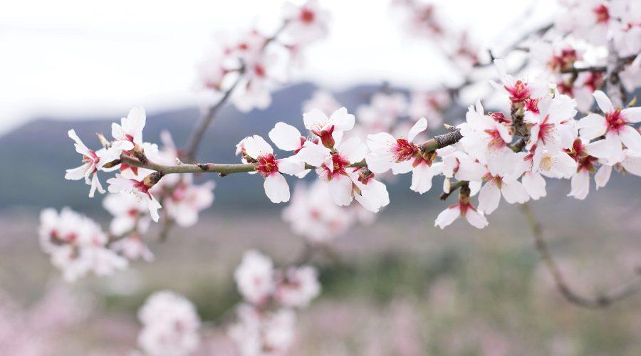 Alcalali en flor