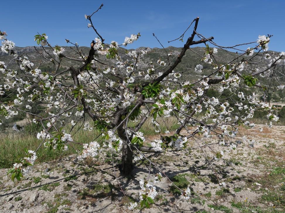 ruta cerezos flor vall gallinera