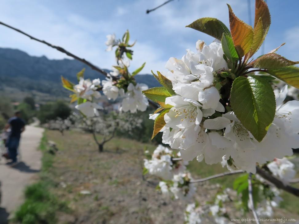 cerezos flor vall gallinera