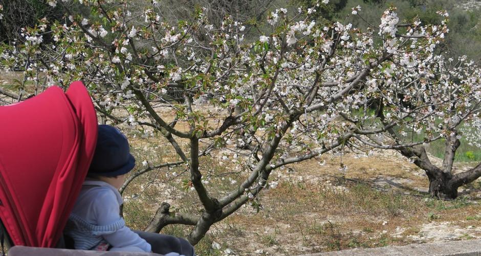 Ruta para ver los cerezos en flor en la Vall de Gallinera